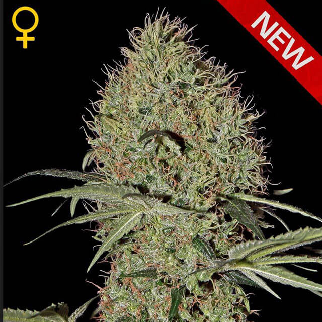 Buy Green House Seeds Super Bud Auto FEM