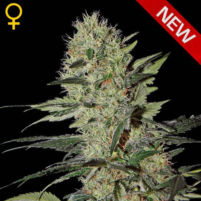 Buy Green House Seeds Exodus Cheese Auto FEM