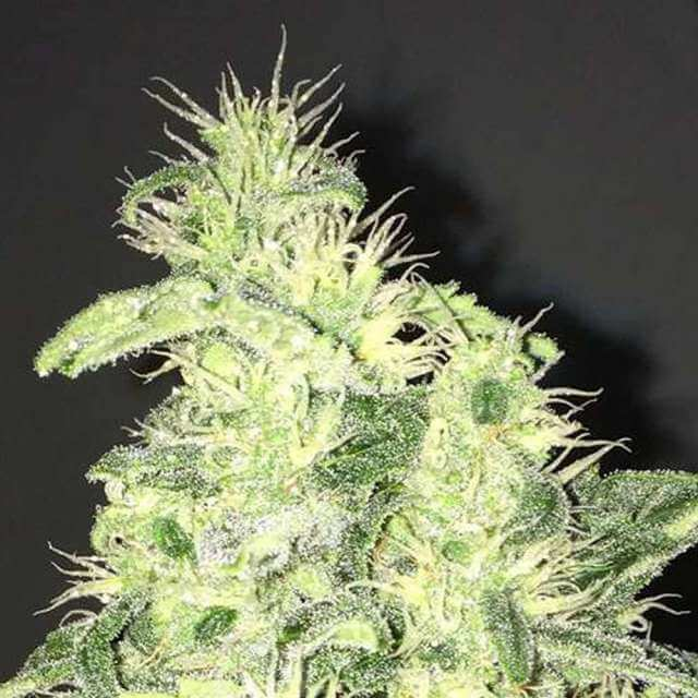 Buy Nirvana Seeds Supreme CBD Kush FEM