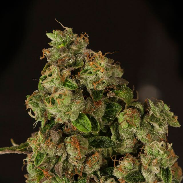 Buy Devils Harvest Seeds OG Reek'n REG