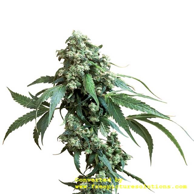 Buy Sensi Seeds Jack Flash REG