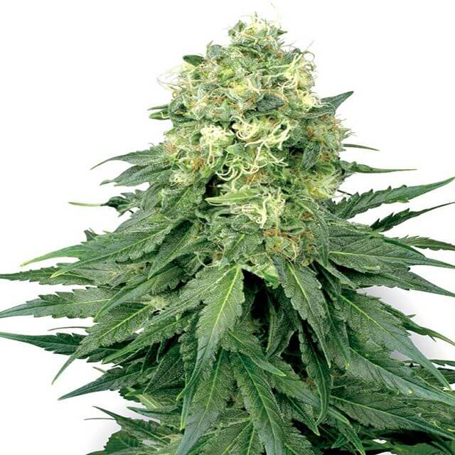 Buy Sensi White Label Seeds White Widow REG