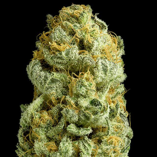 Buy Exclusive Seeds  Critical Cheese FEM