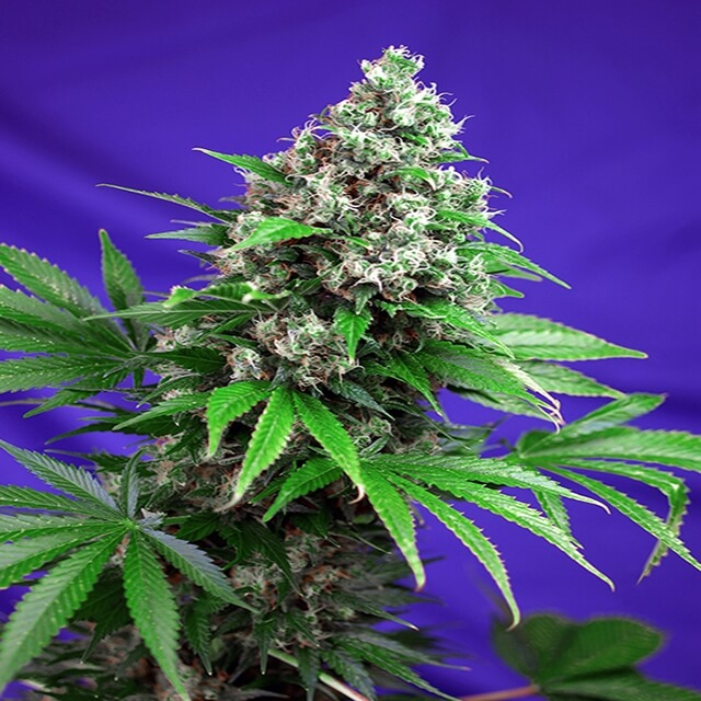 Buy Sweet Seeds Killer Kush F1 Fast FEM