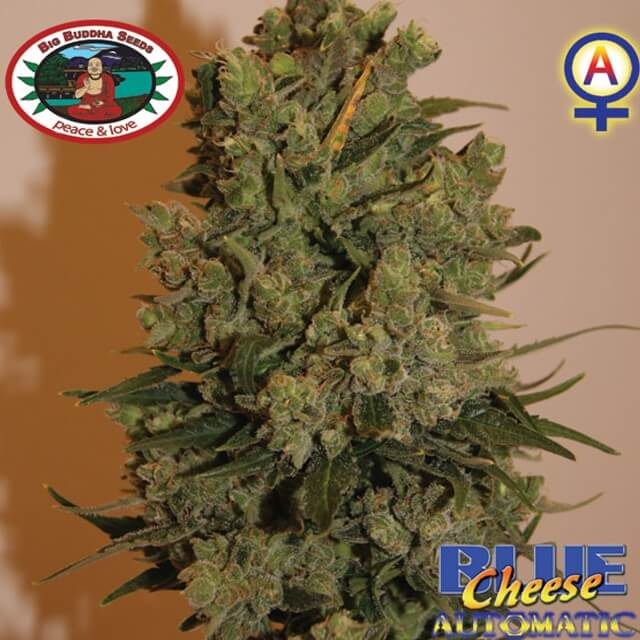 Buy The Big Buddha Seeds Blue Cheese Automatic FEM