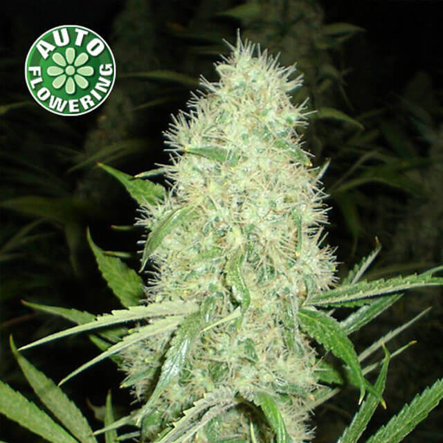 Buy Kera Seeds Dutch Power Auto FEM