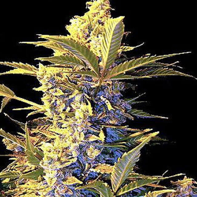 Buy Seedsman Seeds Easy Ryder FEM