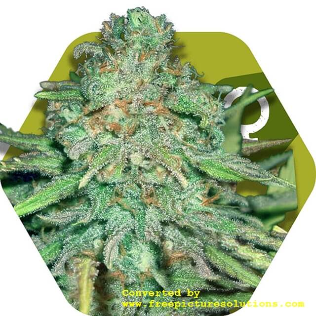 Buy Zambeza Seeds Lemon Kush FEM