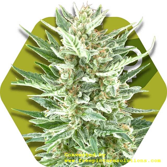 Buy Zambeza Seeds Vanilla Ice FEM