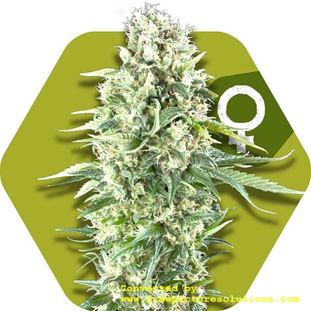 Buy Victory Seeds  Power Plant XL FEM