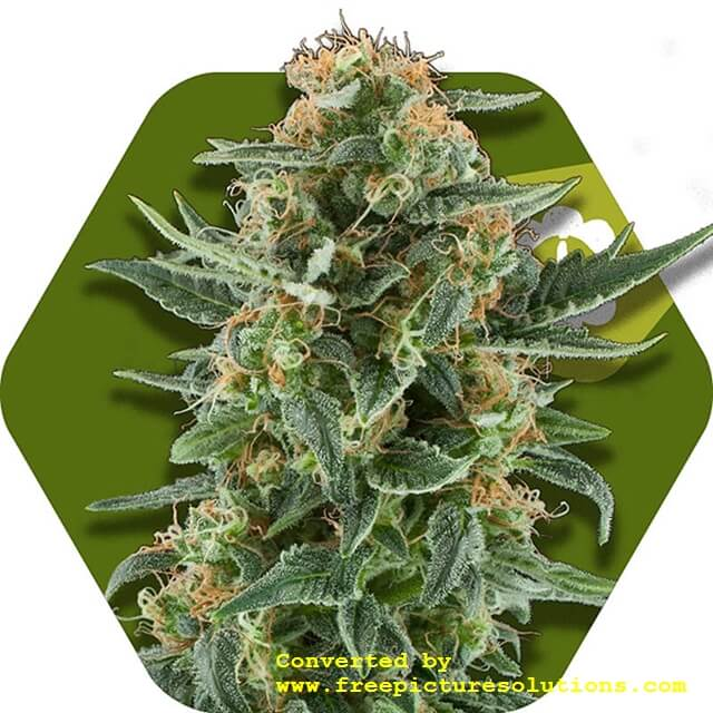 Buy Victory Seeds  Power Plant XL Auto FEM