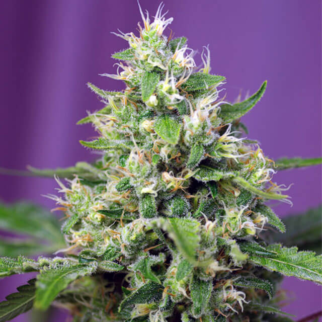 Buy Sweet Seeds Blow Mind Auto FEM