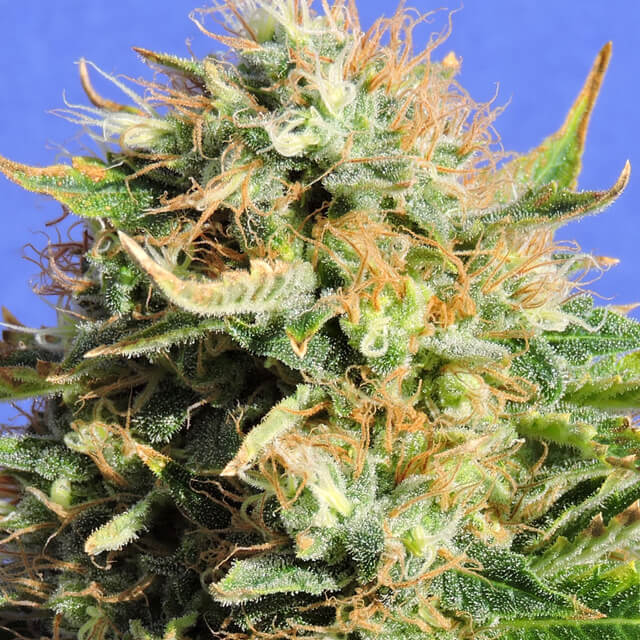 Buy Original Sensible Seeds Chronic Lights FEM