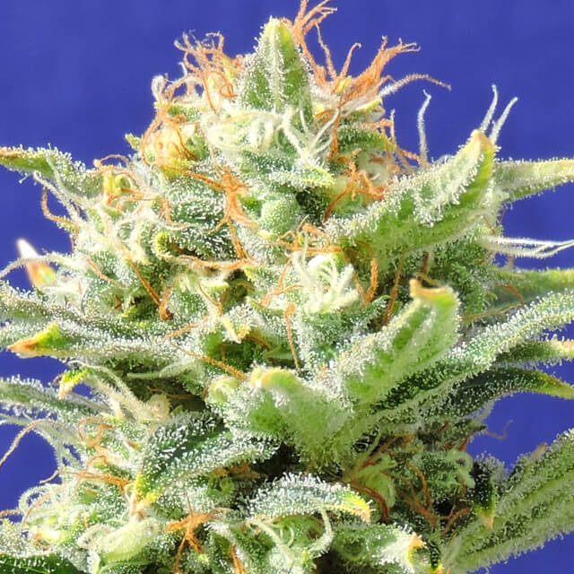 Buy Original Sensible Seeds Auto Skunk FEM