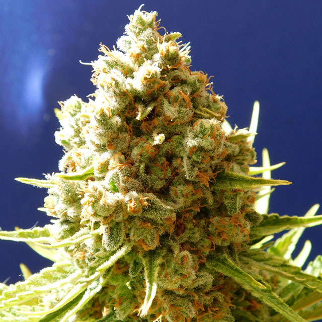 Buy Original Sensible Seeds Pure Kush FEM