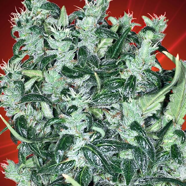 Buy Kaliman Seeds Cheese Tease REG