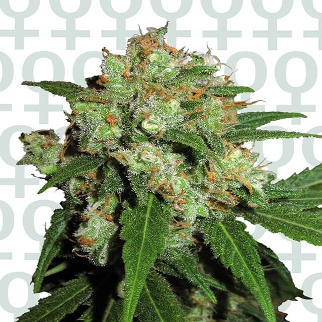 Buy Sensi Seeds Sensi Skunk FEM