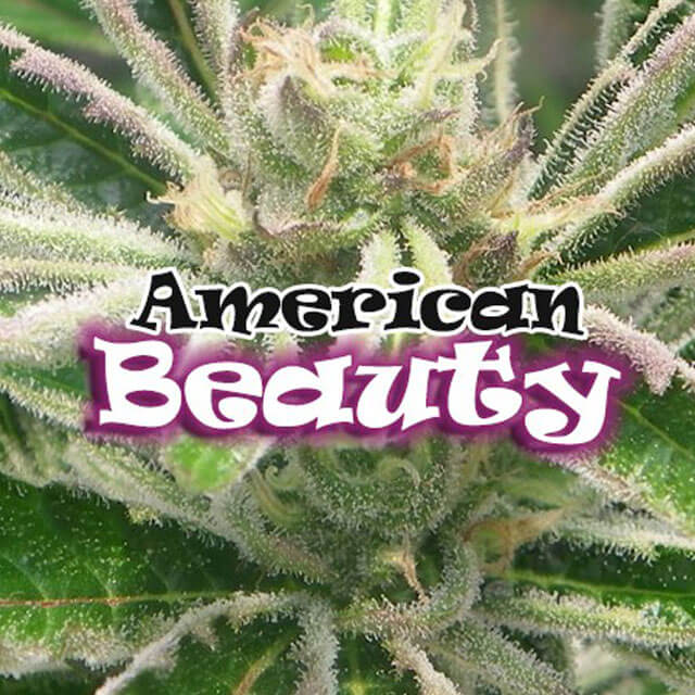 Buy Homegrown Fantaseeds  American Beauty FEM