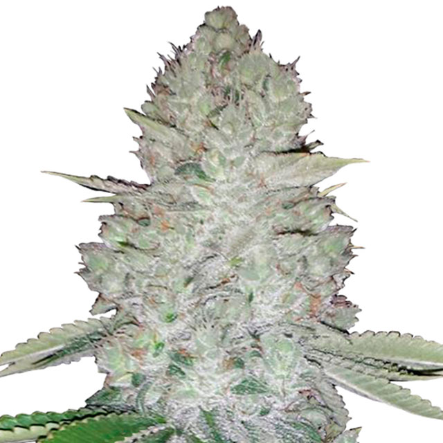 Buy Fast Buds Seeds Gorilla Glue Auto FEM