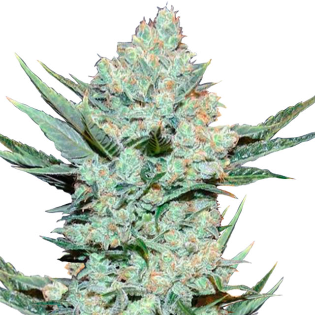 Buy Fast Buds Seeds Tangie Matic Auto FEM