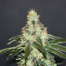 Buy Kannabia Seeds Mataro Blue CBD FEM