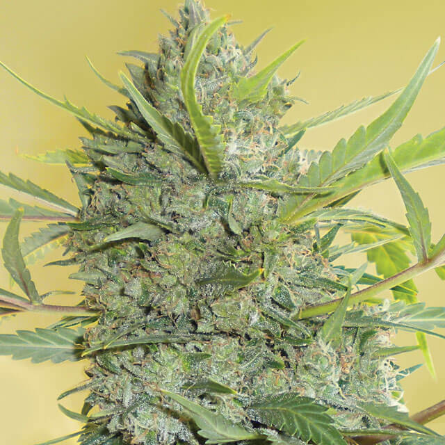 Buy Serious Seeds  Serious Happiness FEM