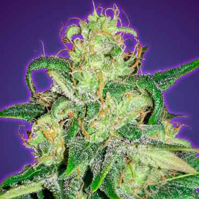 Buy Original Sensible Seeds  Auto Amnesia FEM