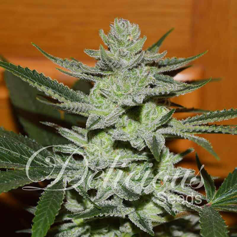 Buy Delicious Seeds Desconocida Kush FEM