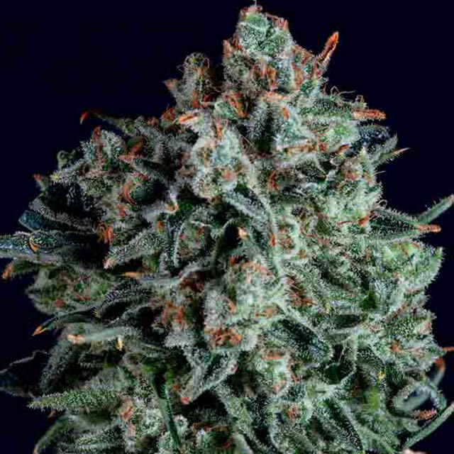 Buy SuperCBDx Seeds Blue Cheese x SCBDx FEM