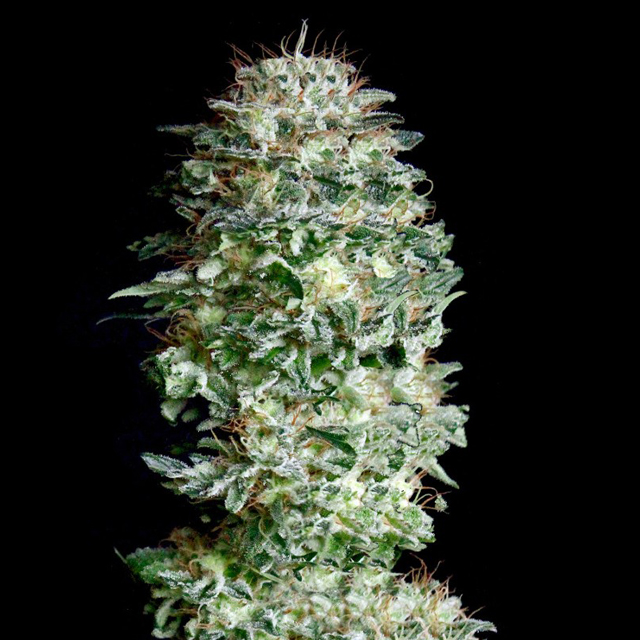Buy Absolute Cannabis Seeds Absolute Herer FEM