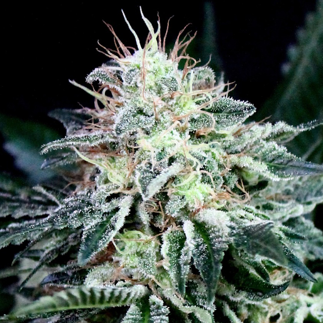 Buy Absolute Cannabis Seeds Radical Auto FEM