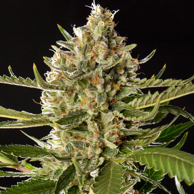 Buy Philosopher Seeds Lemon OG Candy FEM