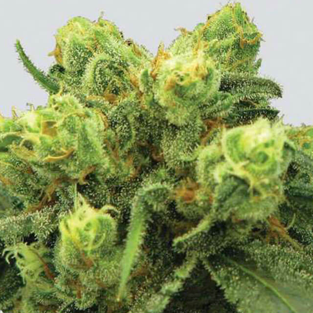 Buy Nirvana Seeds Pre 99 Big Bud FEM