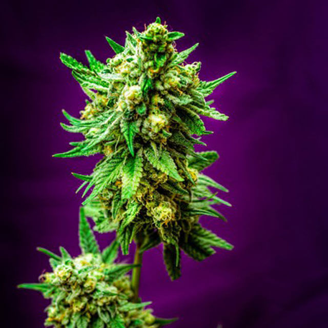 Buy Homegrown Fantaseeds  Micky Kush REG