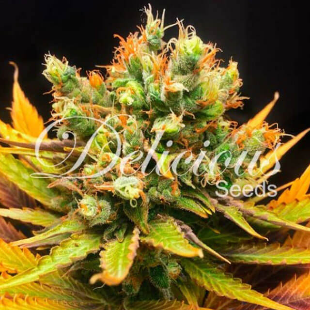 Buy Delicious Seeds Honey Bells FEM