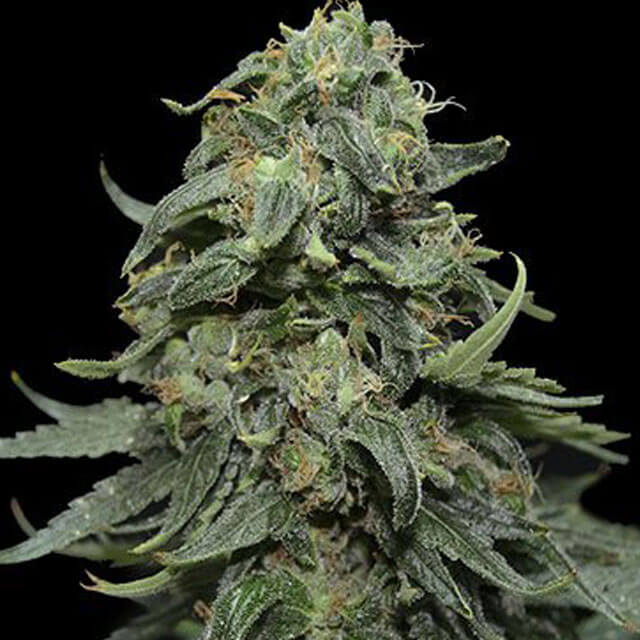 Buy Kalashnikov Seeds Kabul Express FEM