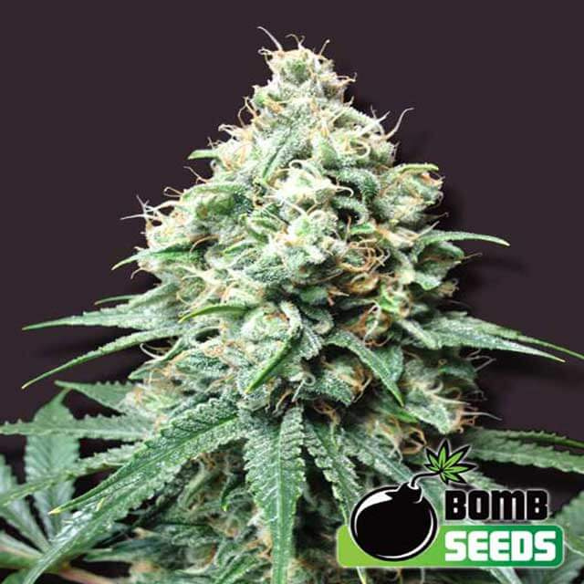Buy Bomb Seeds Kush Bomb REG