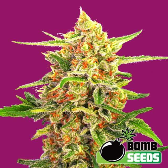 Buy Bomb Seeds Cherry Bomb REG