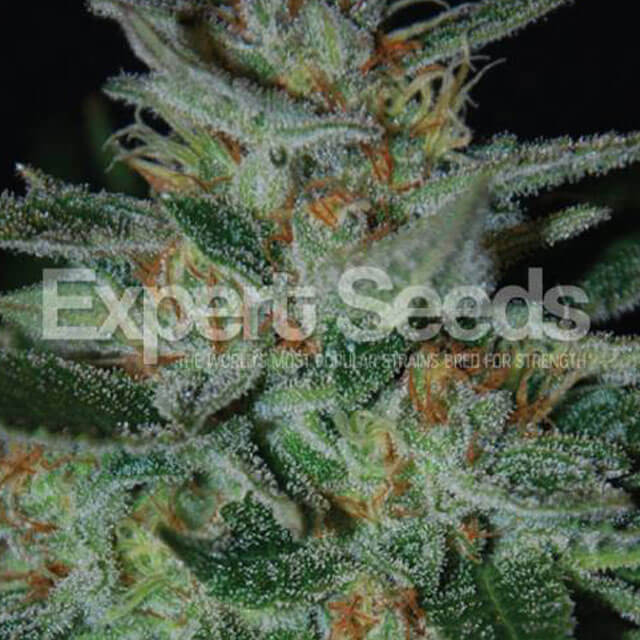 Buy Expert Seeds Blue Funk FEM