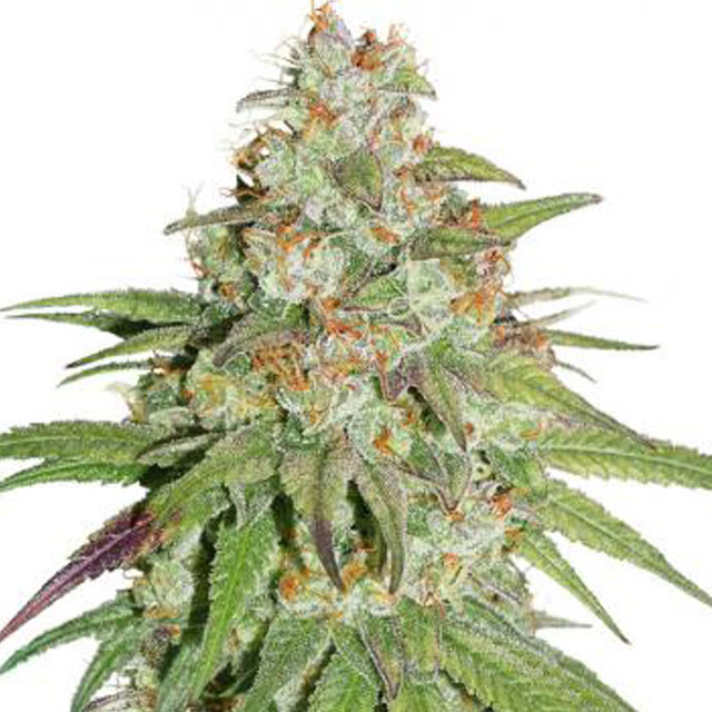Buy Dutch Passion Seeds Glueberry OG FEM