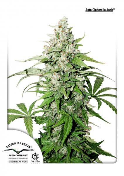 Buy Dutch Passion Seeds Auto Cinderella Jack FEM