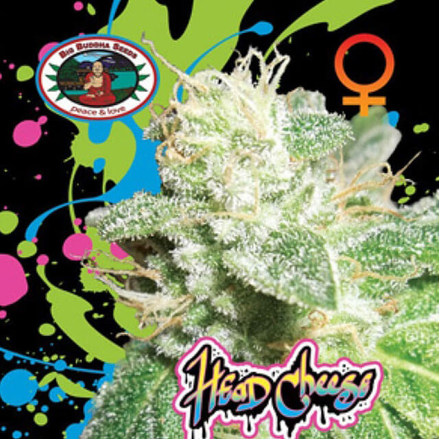 Buy The Big Buddha Seeds Head Cheese FEM