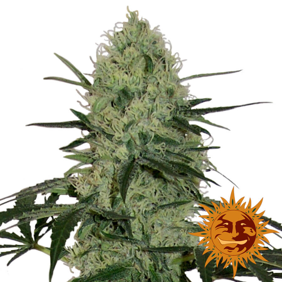 Buy Barneys Farm Seeds Tangerine Dream Auto FEM