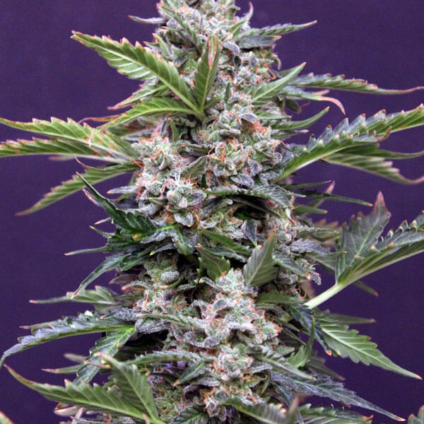 Buy Greenbud Seeds Budmaker Auto FEM