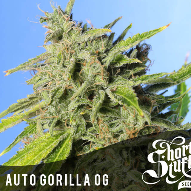 Buy Original Sensible Seeds  Auto Gorilla OG FEM