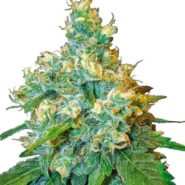 Buy Sensi Seeds Jack Herer FEM