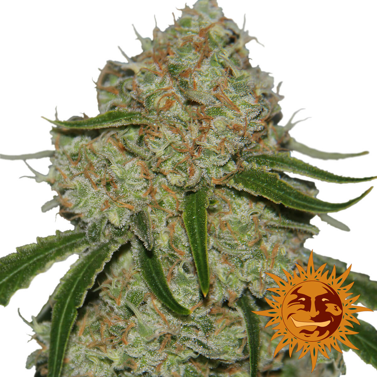 Buy Barneys Farm Seeds Phantom OG FEM
