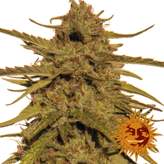 Buy Barneys Farm Seeds Pineapple Haze REG