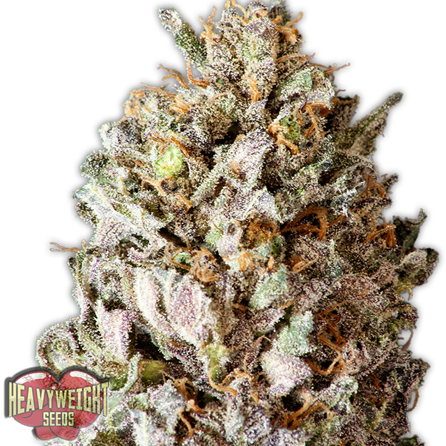 Buy Homegrown Fantaseeds  Diesel Drift FEM
