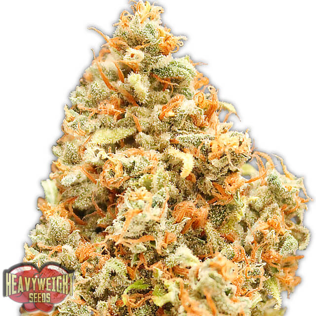Buy Homegrown Fantaseeds  Monster Profit FEM